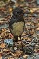South Island Robin - New Zealand (25419835078).jpg