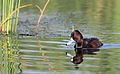 Southern Pochard, Netta erythrophthalma, at Marievale Nature Reserve, Gauteng, South Africa (20951187459).jpg
