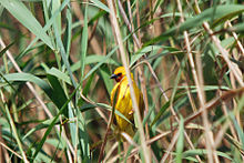 Southern brown-throated weaver (Ploceus xanthopterus) in Phragmites.jpg