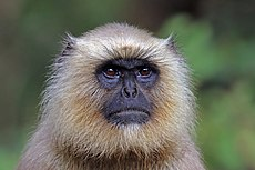 Southern plains grey langur (Semnopithecus dussumieri) female head.jpg