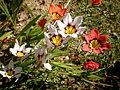Sparaxis tricolor 4c.JPG