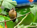 Speckled Hummingbird (Adelomyia melanogenys) 7.jpg