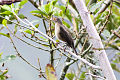 Spectacled Thrush (Turdus nudigenis) (8079737573).jpg