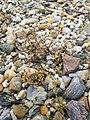 Spergularia marina sl56.jpg