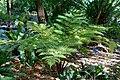 Sphaeropteris cooperi (Cyathea cooperi) - Marie Selby Botanical Gardens - Sarasota, Florida - DSC01164.jpg