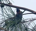 Spice Finch. Lonchura punctulata. nest building) - Flickr - gailhampshire.jpg