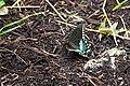 Spicebush swallowtail (35530310503).jpg