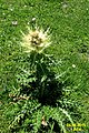 Spiniest thistle (31961927875).jpg