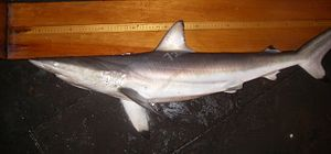 Requiem shark - Spinner shark, Carcharhinus brevipinna, from the Gulf of Mexico