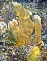 Spirobranchus giganteus (Christmas tree worm) (San Salvador Island, Bahamas) 2 (16143951435).jpg