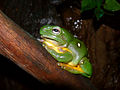 Splendid tree frog444.jpg