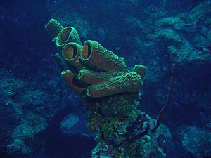 Scuba diving in the Cayman Islands - A Marine sponge photograph taken in the Cayman Islands