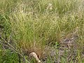 Sporobolus cryptandrus (3912567488).jpg