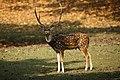 Spotted Deer Kanha.jpg