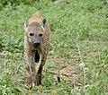 Spotted Hyena (Crocuta crocuta) (50140439078).jpg