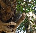 Spotted Owlet. Athene brama - Flickr - gailhampshire.jpg
