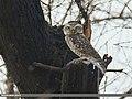 Spotted Owlet (Athene brama) (33207453686).jpg