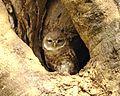 Spotted Owlet (Athene brama) - Flickr - Lip Kee (4).jpg