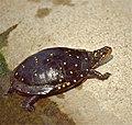 Spotted Turtle (Clemmys guttata) (captive specimen) (36331198042).jpg
