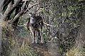 Spotted deer, Satpura Tiger Reserve, Madhai, Madhya Pradesh.jpg
