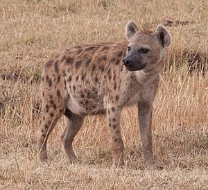 Spotted hyena in Kenya