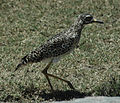 Spotted thick-knee (Burhinus capensis).jpg