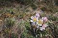Spring pasqueflower (Anemone vernalis).jpg