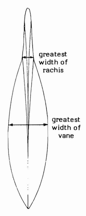 Gladius (cephalopod) - Gladius, showing measurement of rachis and vane