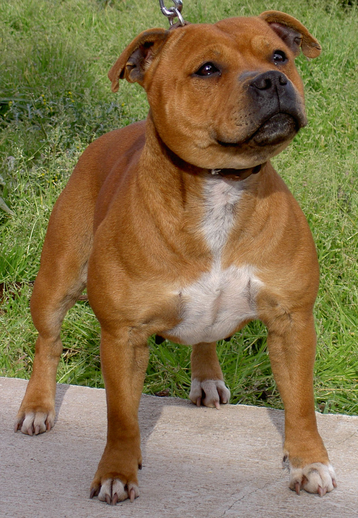 Staffordshire bull terrier wikipedia geenschuldenfo Image collections
