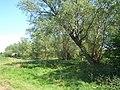 Stand of willow trees near Akenham - geograph.org.uk - 796990.jpg