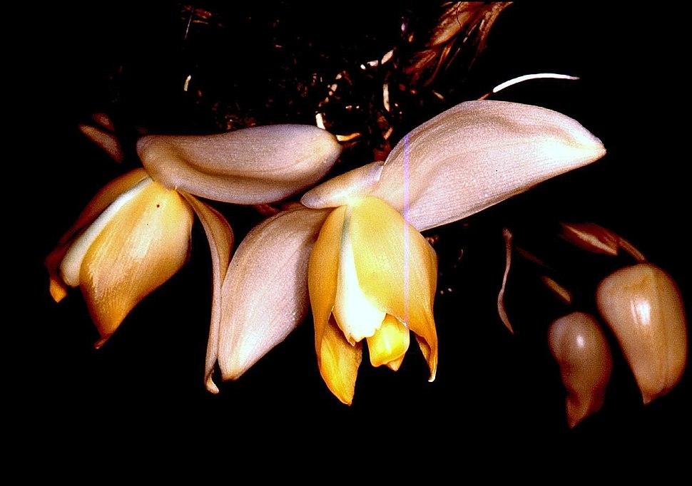 Stanhopea tricornis Orchi 01