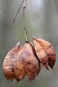 Staphylea trifolia SCA-9963.jpg