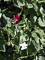 Starr-011121-0016-Coccinia grandis-fruits flowers and leaves-Kahului-Maui (23915456754).jpg