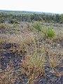 Starr-011205-0112-Hyparrhenia rufa-habit-Hwy11 HAVO-Hawaii (23917141633).jpg
