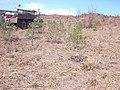 Starr-030521-0063-Myoporum sandwicense-planted Feb 2002-Lua Makika-Kahoolawe (24608153886).jpg