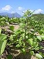 Starr-040125-0028-Chenopodium murale-habit-Kanaha Beach-Maui (24069157244).jpg