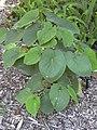 Starr-040318-0058-Piper methysticum-habit-Maui Nui Botanical Garden-Maui (24673415026).jpg