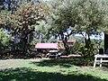 Starr-041022-0022-Schinus terebinthifolius-habit-Makawao-Maui (24089943364).jpg