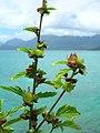 Starr-050419-0403-Malvastrum coromandelianum subsp coromandelianum-habit-Mokolii-Oahu (24628247542).jpg