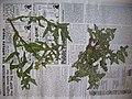 Starr-060305-6579-Sonchus oleraceus-voucher 060228 10-Moku Manu-Oahu (24740279972).jpg