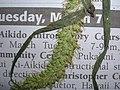 Starr-060305-6583-Setaria verticillata-voucher 060228 11-Moku Manu-Oahu (24231315543).jpg