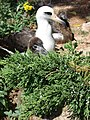 Starr-080604-6194-Juniperus bermudiana-leaves with Laysan albatross-Road to Marine barracks Sand Island-Midway Atoll (24286568203).jpg