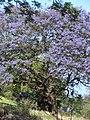 Starr-090513-7513-Jacaranda mimosifolia-flowering habit-King Kekaulike School Pukalani-Maui (24587024359).jpg