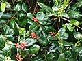Starr-090514-7854-Ilex aquifolium-fruit and leaves-Kula-Maui (24587687579).jpg