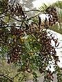 Starr-090518-7882-Adenanthera pavonina-seedpods-Omaopio-Maui (24929064436).jpg
