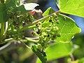 Starr-090610-0561-Jatropha curcas-flowers-Haiku-Maui (24845945892).jpg