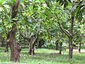 Starr-090623-1643-Artocarpus altilis-grove-National Tropical Botanical Garden Kaeleku-Maui (24336444484).jpg