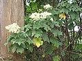 Starr-101130-9604-Montanoa hibiscifolia-flowers-Ulupalakua-Maui (24963935181).jpg