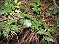 Starr-110209-0703-Cissus rhombifolia-leaves-Resort Management Group Nursery Kihei-Maui (25074409105).jpg