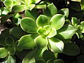 Starr-110307-1941-Unknown crassulaceae-leaves-Kula Botanical Garden-Maui (24446628564).jpg